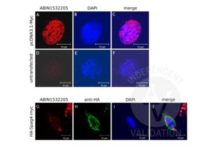 anti-MYC (AA 31-80) antibody