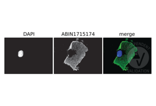 Immunofluorescence validation image for anti-DYKDDDDK Tag antibody (ABIN1715174)