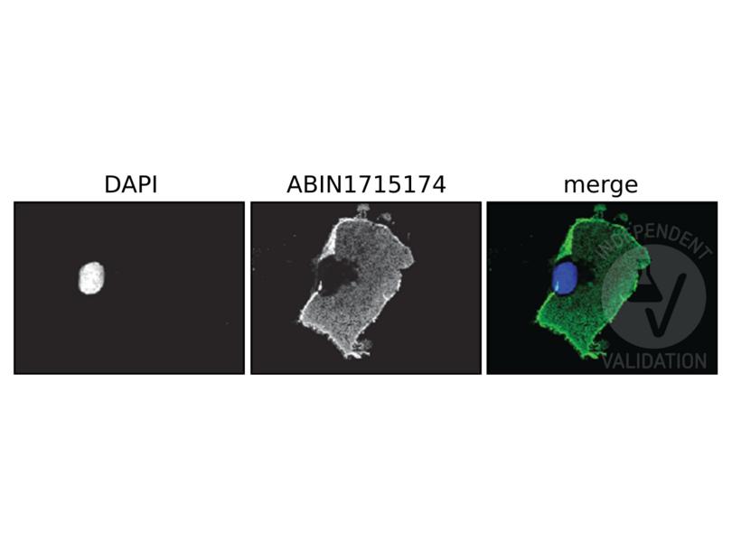 Immunofluorescence validation image for anti-DYKDDDDK Tag antibody (ABIN1715174)