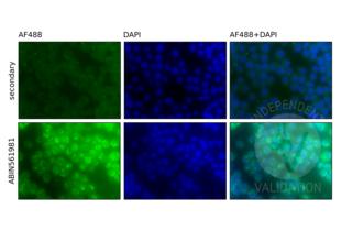 Immunofluorescence validation image for anti-Nuclear Factor of kappa Light Polypeptide Gene Enhancer in B-Cells 1 (NFKB1) (AA 860-969) antibody (ABIN561981)