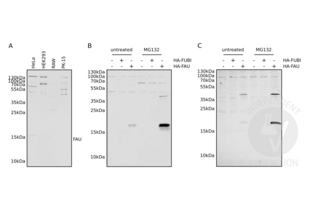 Western Blotting validation image for anti-Finkel-Biskis-Reilly Murine Sarcoma Virus (FBR-MuSV) Ubiquitously Expressed (FAU) (N-Term), (AA 1-30) antibody (ABIN2798885)