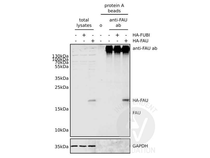 Immunoprecipitation validation image for anti-Finkel-Biskis-Reilly Murine Sarcoma Virus (FBR-MuSV) Ubiquitously Expressed (FAU) (N-Term), (AA 1-30) antibody (ABIN2798885)
