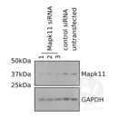 anti-MAPK11 Antikörper (Mitogen-Activated Protein Kinase 11) (AA 1-30)