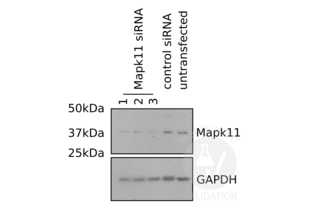Western Blotting validation image for anti-Mitogen-Activated Protein Kinase 11 (MAPK11) (N-Term), (AA 1-30) antibody (ABIN2798348)