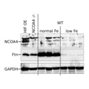 anti-NCOA4 antibody (Nuclear Receptor Coactivator 4) (N-Term)