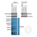 anti-SPNS2 antibody (Spinster Homolog 2 (Drosophila)) (N-Term)
