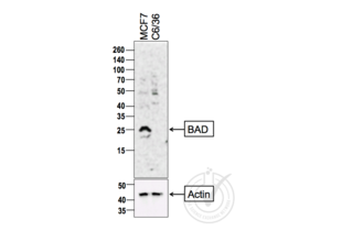 Western Blotting validation image for anti-BCL2-Associated Agonist of Cell Death (BAD) (AA 101-204) antibody (ABIN674709)