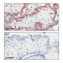 anti-CD200 Receptor 1-Like (CD200R1L) (AA 150-200) antibody