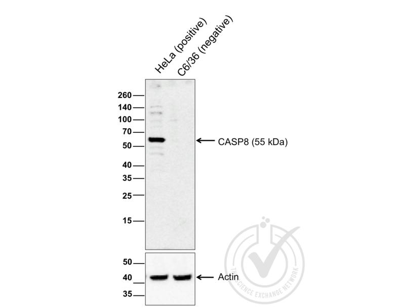 Western Blotting validation image for anti-Caspase 8 (CASP8) (AA 430-482) antibody (ABIN724205)