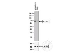 anti-Frizzled Family Receptor 7 (FZD7) (AA 550-574) antibody