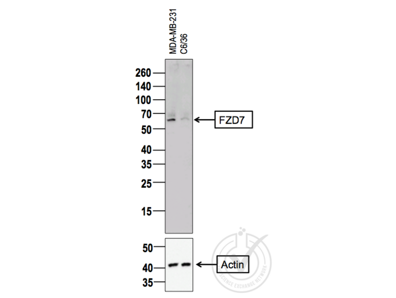 Western Blotting validation image for anti-Frizzled Family Receptor 7 (FZD7) (AA 550-574) antibody (ABIN710051)