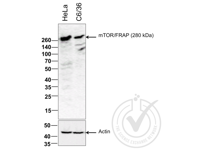 Western Blotting validation image for anti-Mechanistic Target of Rapamycin (serine/threonine Kinase) (FRAP1) (AA 2436-2492) antibody (ABIN676403)