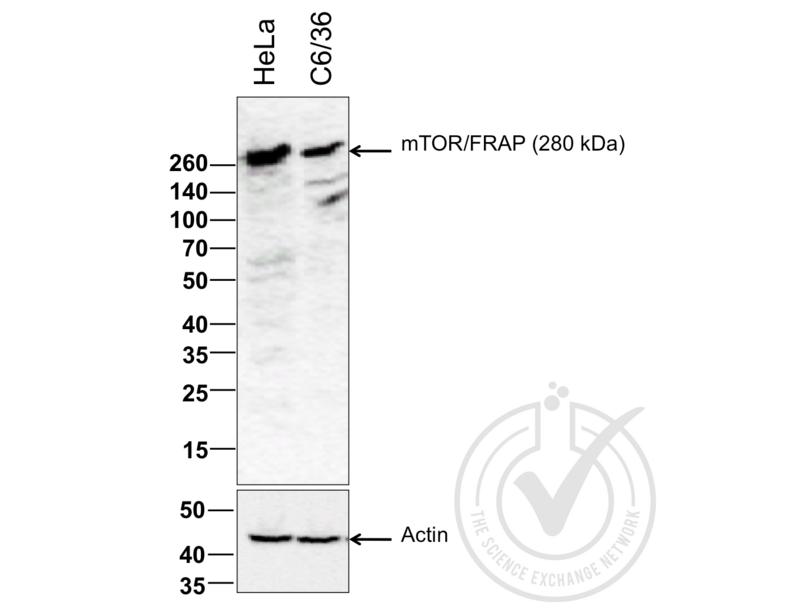 Western Blotting validation image for anti-Mechanistic Target of Rapamycin (serine/threonine Kinase) (FRAP1) (AA 2436-2492) antibody (ABIN676403)