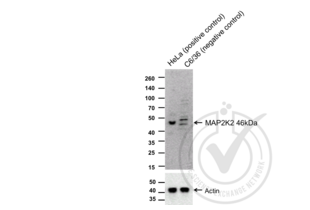 Western Blotting validation image for anti-Mitogen-Activated Protein Kinase Kinase 2 (MAP2K2) (AA 1-50) antibody (ABIN726500)