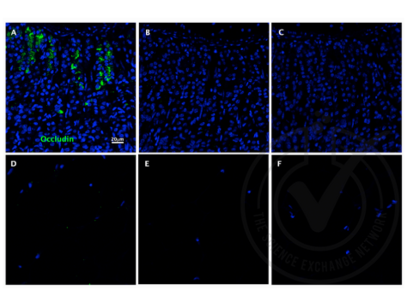 Immunofluorescence validation image for anti-Occludin (OCLN) (AA 480-520) antibody (ABIN687337)