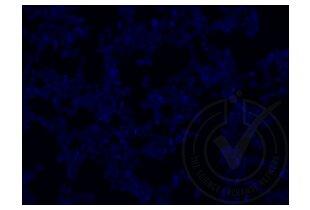 Immunofluorescence validation image for anti-Runt-Related Transcription Factor 3 (RUNX3) (AA 31-130) antibody (ABIN1714069)