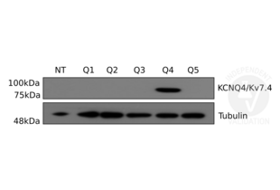 anti-Potassium Voltage-Gated Channel, KQT-Like Subfamily, Member 4 (KCNQ4) antibody