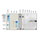 anti-Subtilisin antibody