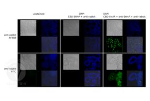 Immunofluorescence validation image for Goat anti-Rabbit IgG (Heavy & Light Chain) antibody (FITC) - Preadsorbed (ABIN101988)