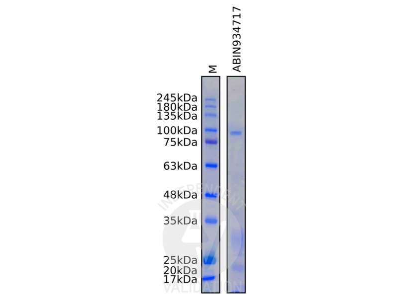 SDS-PAGE validation image for Thyroid Peroxidase (TPO) protein (ABIN934717)