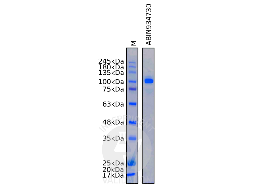 SDS-PAGE validation image for Thyroid Peroxidase (TPO) protein (ABIN934730)