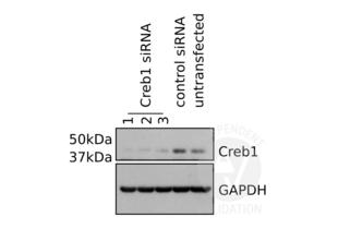 Western Blotting validation image for anti-CAMP Responsive Element Binding Protein 1 (CREB1) antibody (ABIN969061)