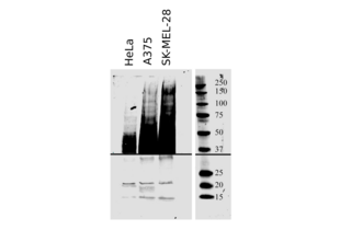 Western Blotting validation image for anti-CD63 (CD63) (AA 120-175) antibody (ABIN1440014)