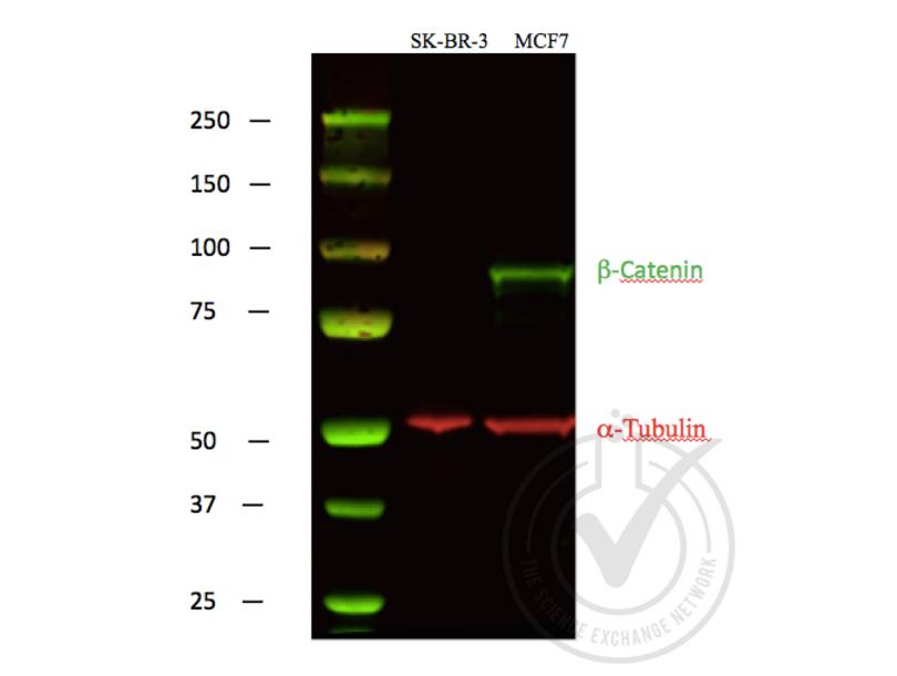Western Blotting validation image for anti-Catenin, beta (C-Term) antibody (ABIN1043907)