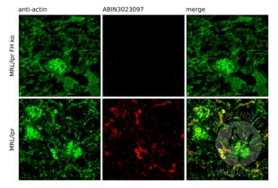 Immunofluorescence validation image for anti-Complement Factor H (CFH) antibody (ABIN3023097)
