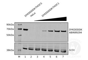 Western Blotting validation image for anti-DYKDDDDK Tag antibody (ABIN99294)