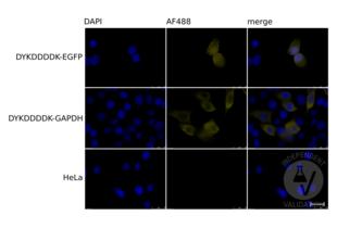 Immunofluorescence validation image for anti-DYKDDDDK Tag antibody (ABIN99294)