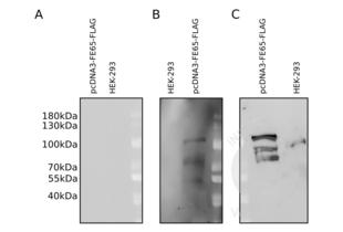 anti-DYKDDDDK Tag antibody