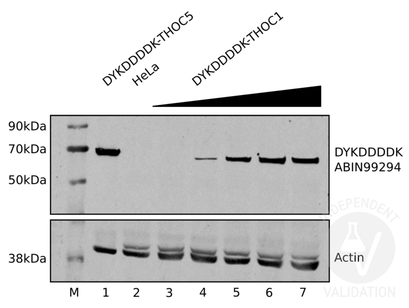Western Blotting validation image for anti-DYKDDDDK Tag antibody (ABIN99294)