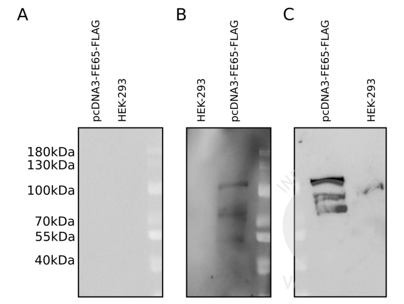 Western Blotting validation image for anti-DYKDDDDK Tag antibody (ABIN3181074)