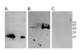 Western Blotting validation image for anti-HA-Tag antibody (ABIN2443910)