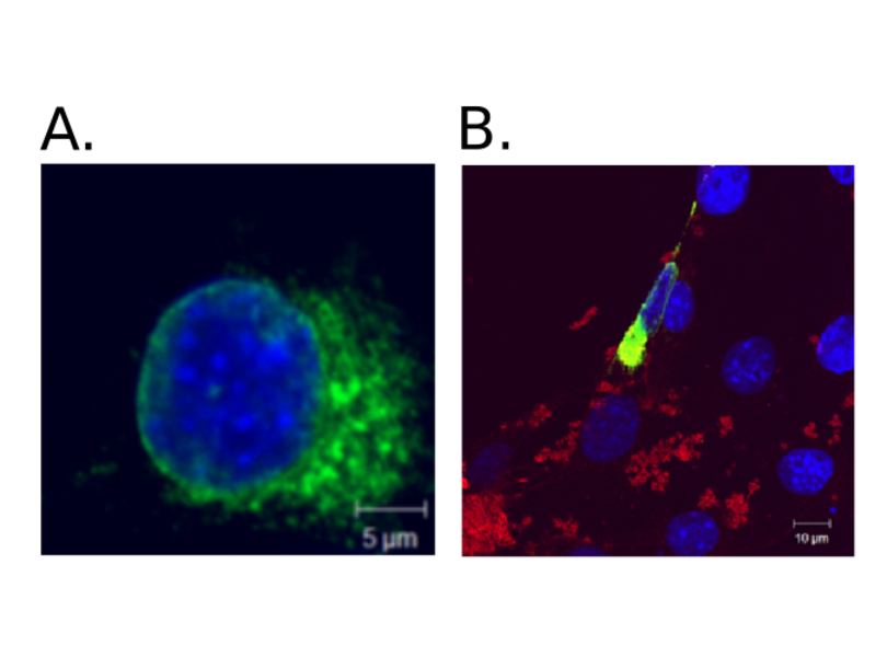 Immunocytochemistry validation image for anti-HA-Tag antibody (ABIN2443910)
