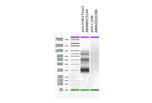 Cleavage Under Targets and Release Using Nuclease validation image for anti-Jun Proto-Oncogene (JUN) (pThr239) antibody (ABIN3020286)