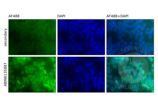 Immunofluorescence validation image for anti-Nuclear Factor-kB p65 (NFkBP65) antibody (ABIN6135887)