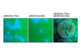 Proximity Ligation Assay validation image for anti-Phosphotyrosine antibody (ABIN361758)