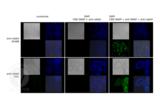 Immunofluorescence validation image for anti-SNAP Tag antibody (ABIN1573927)