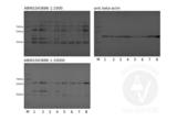 Western Blotting validation image for anti-Secreted phosphoprotein 1 (SPP1) antibody (ABIN1043686)