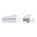 anti-p53 anticorps (Tumor Protein P53) (meLys370)