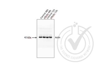 anti-Actin, beta (ACTB) (AA 2-16) antibody (3)