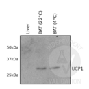 anti-UCP1 antibody (Uncoupling Protein 1 (Mitochondrial, Proton Carrier)) (AA 179-296)