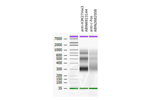 Cleavage Under Targets and Release Using Nuclease validation image for anti-c-Fos (c-Fos) (N-Term) antibody (ABIN2682008)