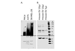 Donkey anti-Goat IgG (Heavy & Light Chain) antibody (IRDye680RD)
