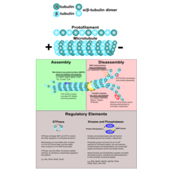 Dynamique des Microtubules