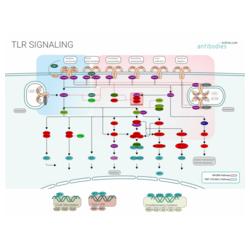 TLR Signaling