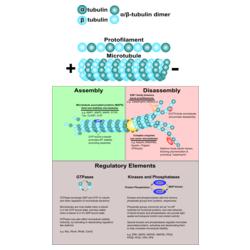 Microtubule Dynamics