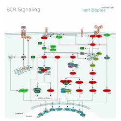 BCR Signaling